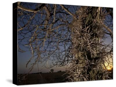Tree Scorched from Spring Burning in the Flint Hills-Jim Richardson-Stretched Canvas Print