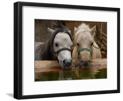 Two Ponies Meet for a Refreshing Drink of Water-Medford Taylor-Framed Photographic Print