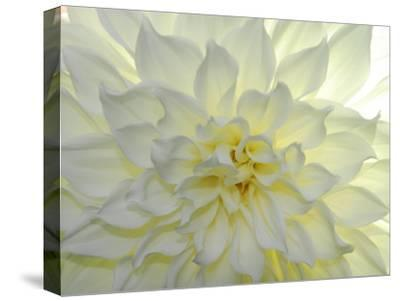 Close Up of a White Dahlia Flower-Raul Touzon-Stretched Canvas Print