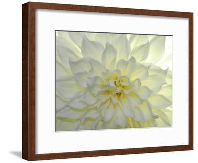 Close Up of a White Dahlia Flower-Raul Touzon-Framed Photographic Print