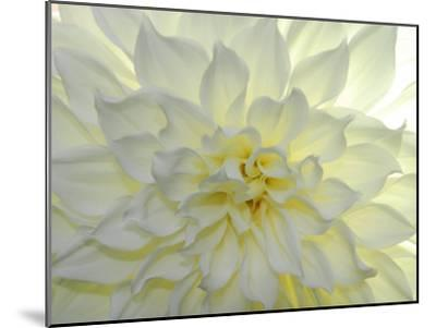 Close Up of a White Dahlia Flower-Raul Touzon-Mounted Photographic Print