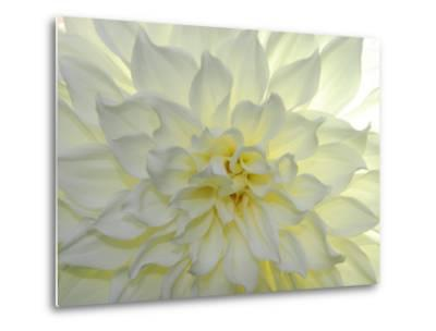 Close Up of a White Dahlia Flower-Raul Touzon-Metal Print