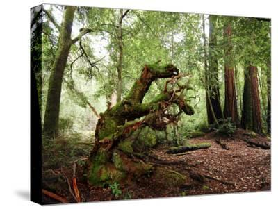 Giant Redwood Tree Root Ball, Looking Like a Leaping Horse-Raymond Gehman-Stretched Canvas Print