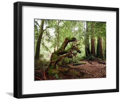 Giant Redwood Tree Root Ball, Looking Like a Leaping Horse-Raymond Gehman-Framed Photographic Print