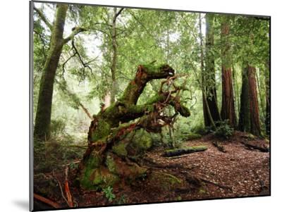 Giant Redwood Tree Root Ball, Looking Like a Leaping Horse-Raymond Gehman-Mounted Photographic Print