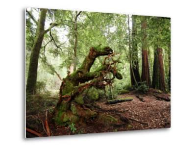 Giant Redwood Tree Root Ball, Looking Like a Leaping Horse-Raymond Gehman-Metal Print