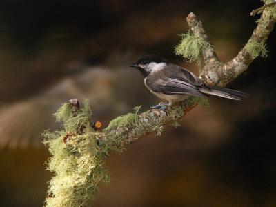 Black-Capped Chickadee, Parus Atricapillus, on Lichen-Covered Branch-Darlyne A^ Murawski-Framed Photographic Print
