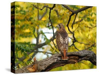 Red-Tailed Hawk, Buteo Jamaicensis, Perched on a Tree Branch-Darlyne A^ Murawski-Stretched Canvas Print