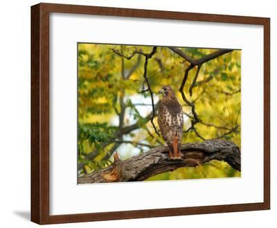 Red-Tailed Hawk, Buteo Jamaicensis, Perched on a Tree Branch-Darlyne A^ Murawski-Framed Photographic Print