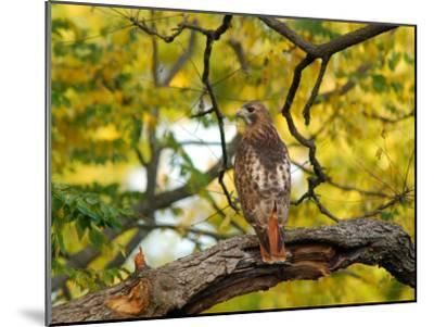 Red-Tailed Hawk, Buteo Jamaicensis, Perched on a Tree Branch-Darlyne A^ Murawski-Mounted Photographic Print