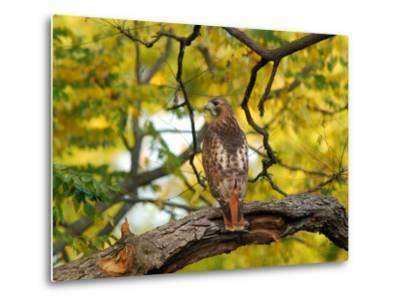 Red-Tailed Hawk, Buteo Jamaicensis, Perched on a Tree Branch-Darlyne A^ Murawski-Metal Print