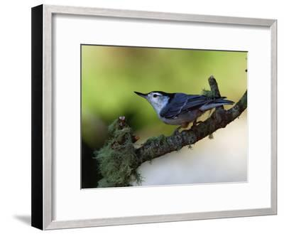 White-Breasted Nuthatch, Sitta Carolinensis, Perching on a Branch-Darlyne A^ Murawski-Framed Photographic Print