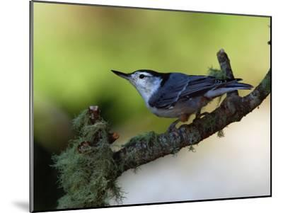 White-Breasted Nuthatch, Sitta Carolinensis, Perching on a Branch-Darlyne A^ Murawski-Mounted Photographic Print