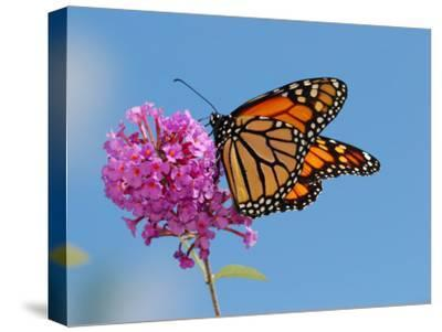 Monarch Butterfly, Danaus Plexippus, Visiting Flowers-Darlyne A^ Murawski-Stretched Canvas Print