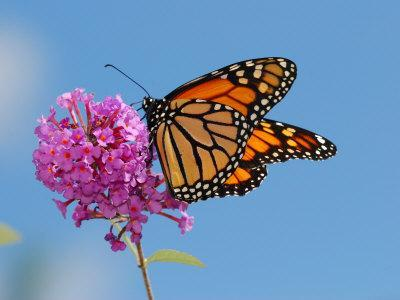 Monarch Butterfly, Danaus Plexippus, Visiting Flowers-Darlyne A^ Murawski-Photographic Print