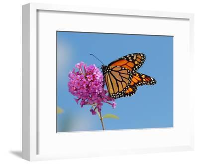 Monarch Butterfly, Danaus Plexippus, Visiting Flowers-Darlyne A^ Murawski-Framed Photographic Print