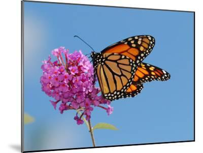 Monarch Butterfly, Danaus Plexippus, Visiting Flowers-Darlyne A^ Murawski-Mounted Photographic Print