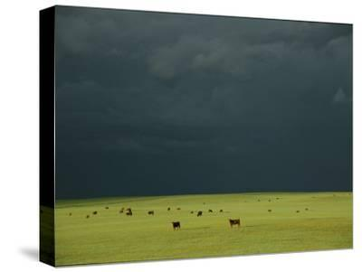 Ominous Storm Clouds Gather over a Field of Grazing Cattle-Peter Carsten-Stretched Canvas Print