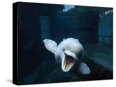 Beluga Whale Swimming with an Open Mouth Threat Display-Paul Sutherland-Stretched Canvas Print