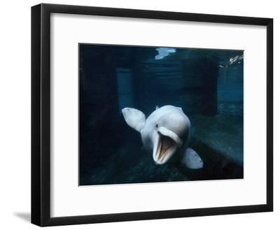 Beluga Whale Swimming with an Open Mouth Threat Display-Paul Sutherland-Framed Photographic Print