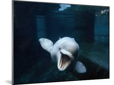 Beluga Whale Swimming with an Open Mouth Threat Display-Paul Sutherland-Mounted Photographic Print