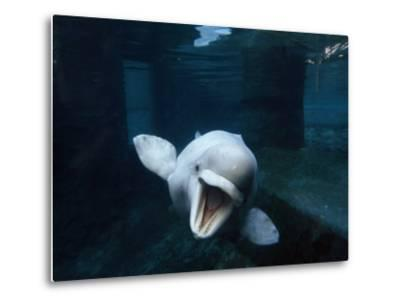 Beluga Whale Swimming with an Open Mouth Threat Display-Paul Sutherland-Metal Print