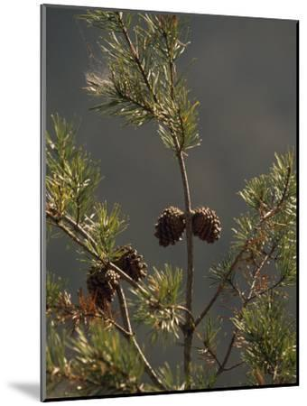 Pine Cones at the Top of a Small Pine Tree-Raymond Gehman-Mounted Photographic Print