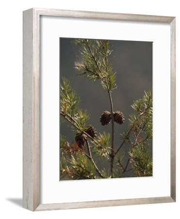Pine Cones at the Top of a Small Pine Tree-Raymond Gehman-Framed Photographic Print