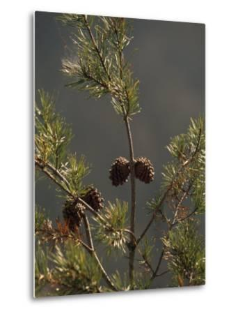 Pine Cones at the Top of a Small Pine Tree-Raymond Gehman-Metal Print