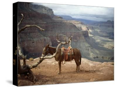Saddled Mule and Scenic View of the Grand Canyon-David Edwards-Stretched Canvas Print