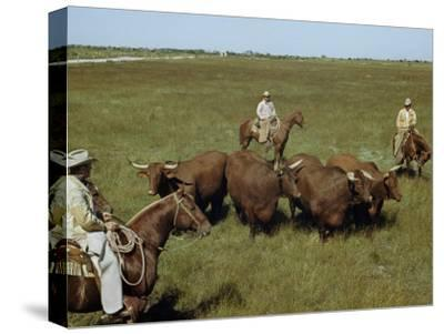 Rancher and Cowboys Inspect Grass-Fattened Steers-Justin Locke-Stretched Canvas Print