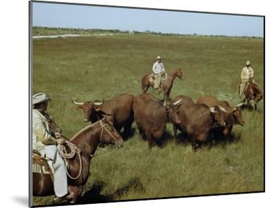 Rancher and Cowboys Inspect Grass-Fattened Steers-Justin Locke-Mounted Photographic Print