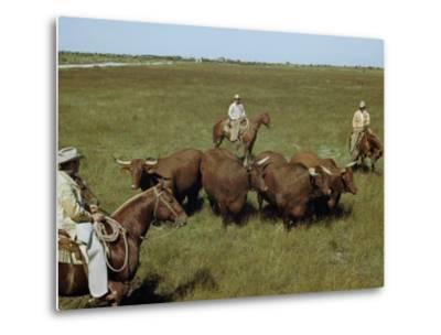 Rancher and Cowboys Inspect Grass-Fattened Steers-Justin Locke-Metal Print