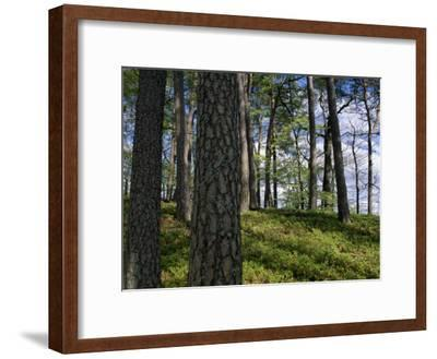 Stand of Pine Trees on a Hill-Norbert Rosing-Framed Photographic Print