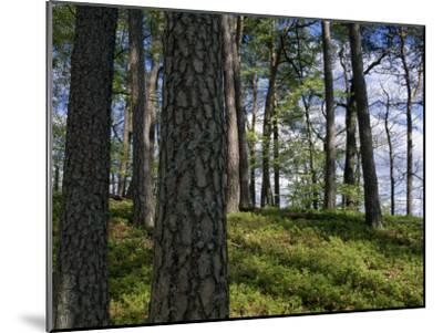 Stand of Pine Trees on a Hill-Norbert Rosing-Mounted Photographic Print