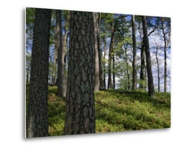 Stand of Pine Trees on a Hill-Norbert Rosing-Metal Print