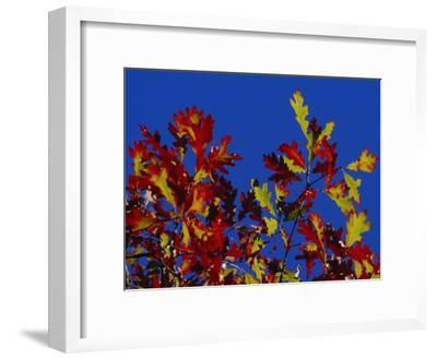 Oak Leaves in Fall Colors Against a Bright Blue Sky-Raymond Gehman-Framed Photographic Print