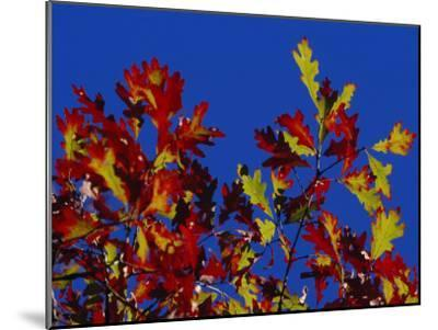 Oak Leaves in Fall Colors Against a Bright Blue Sky-Raymond Gehman-Mounted Photographic Print