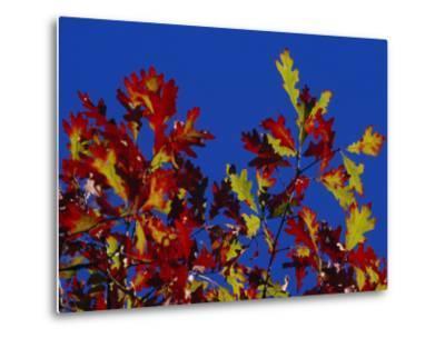 Oak Leaves in Fall Colors Against a Bright Blue Sky-Raymond Gehman-Metal Print