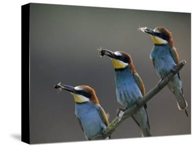 Beaks Replete with Prey, a Trio of Bee Eaters Eye their Nearby Nests-Jozsef Szentpeteri-Stretched Canvas Print