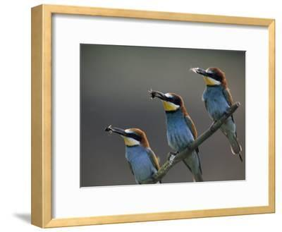 Beaks Replete with Prey, a Trio of Bee Eaters Eye their Nearby Nests-Jozsef Szentpeteri-Framed Photographic Print