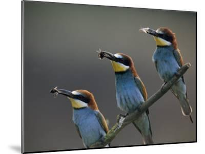 Beaks Replete with Prey, a Trio of Bee Eaters Eye their Nearby Nests-Jozsef Szentpeteri-Mounted Photographic Print