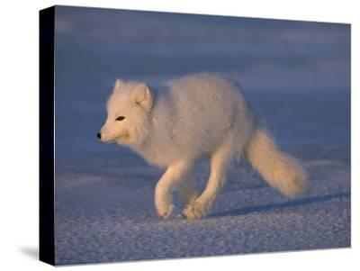 White Arctic Fox (Alopex Lagopus) Runs across a Snowy Landscape-Norbert Rosing-Stretched Canvas Print