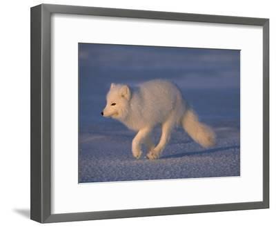 White Arctic Fox (Alopex Lagopus) Runs across a Snowy Landscape-Norbert Rosing-Framed Photographic Print