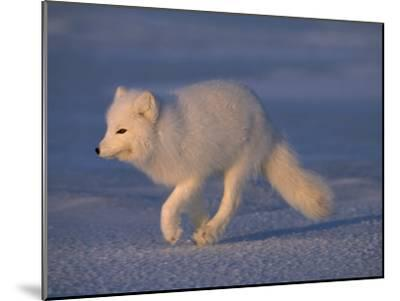 White Arctic Fox (Alopex Lagopus) Runs across a Snowy Landscape-Norbert Rosing-Mounted Photographic Print