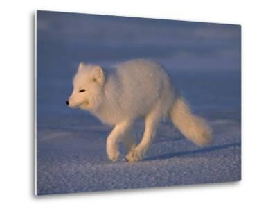 White Arctic Fox (Alopex Lagopus) Runs across a Snowy Landscape-Norbert Rosing-Metal Print