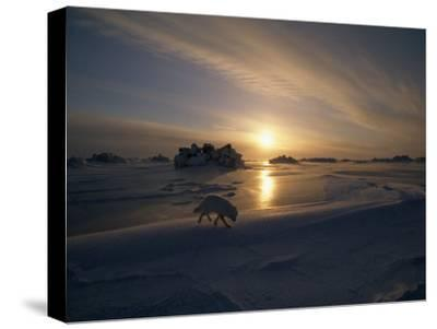 White Arctic Fox (Alopex Lagopus) Steals across an Icy Landscape-Norbert Rosing-Stretched Canvas Print