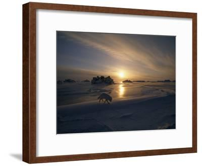 White Arctic Fox (Alopex Lagopus) Steals across an Icy Landscape-Norbert Rosing-Framed Photographic Print