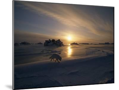 White Arctic Fox (Alopex Lagopus) Steals across an Icy Landscape-Norbert Rosing-Mounted Photographic Print