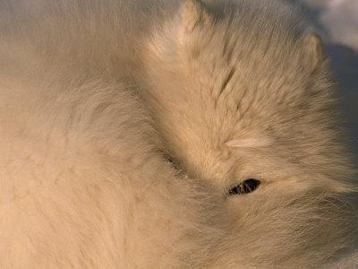 Close-up of a White Arctic Fox (Alopex Lagopus) Resting, One Eye Open-Norbert Rosing-Framed Photographic Print